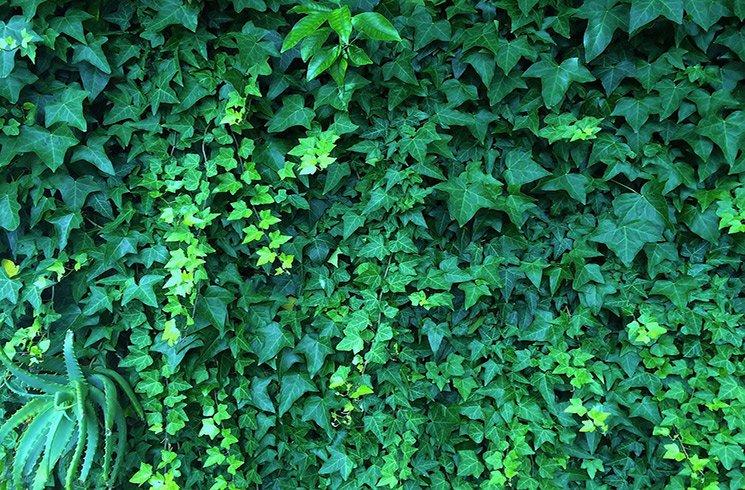 Le lierre fait partie des plantes les plus vigoureuses et faciles à cultiver pour votre jardin d'intérieur.
