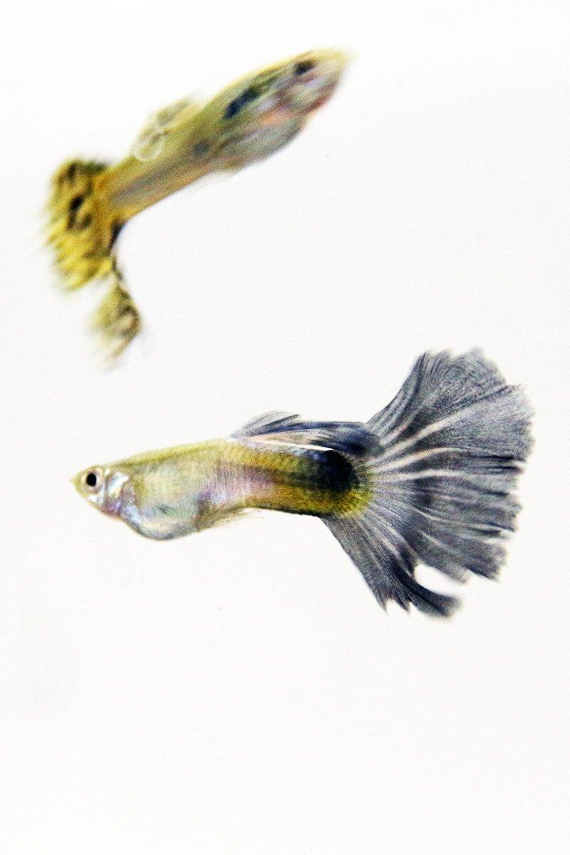 les poissons pour l'aquaponie